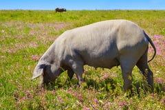 Cerdo iberico利比亚猪肉在Dehesa西班牙 免版税库存照片