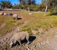 Cerdo iberico利比亚猪肉在Dehesa 免版税库存照片