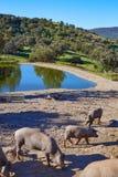 Cerdo iberico利比亚猪肉在Dehesa 图库摄影
