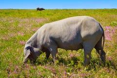 Cerdo iberico iberian pork in Dehesa Spain Royalty Free Stock Images