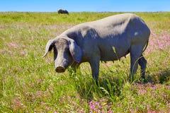 Cerdo iberico iberian pork in Dehesa Spain Stock Photography