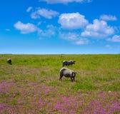 Cerdo iberico iberian wieprzowina w Dehesa Hiszpania Obrazy Royalty Free
