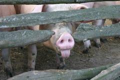 Cerdo impudente Foto de archivo