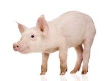 Cerdo joven (+-1 mes) Imagenes de archivo