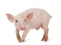 Cerdo joven (+-1 mes) Fotos de archivo