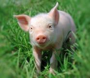 Cerdo joven Imagen de archivo libre de regalías