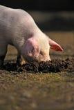 Cerdo joven fotos de archivo