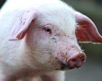 Cerdo joven imagenes de archivo