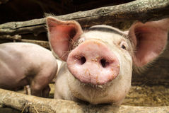 Cerdo joven curioso en un establo de madera Fotografía de archivo