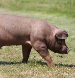 Cerdo joven de la raza del Duroc-Jersey en el ambiente natural fotografía de archivo