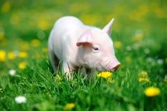 Cerdo joven en hierba fotos de archivo