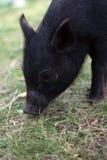 Cerdo joven en hierba fotografía de archivo