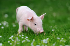 Cerdo joven en hierba imagenes de archivo