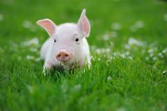 Cerdo joven en una hierba verde imagen de archivo