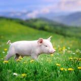 Cerdo joven en una hierba verde fotos de archivo