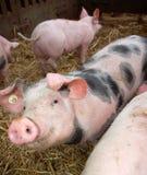 Cerdo joven lindo imagen de archivo libre de regalías