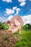 Cerdo lindo que pasta en el prado del verano en la pradera de las montañas fotos de archivo libres de regalías
