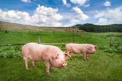 Cerdo lindo que pasta en el prado del verano en la pradera de las montañas Fotografía de archivo libre de regalías
