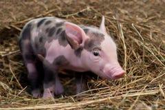 Cerdo manchado imagen de archivo libre de regalías