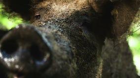 Cerdo marrón sucio