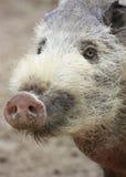 Cerdo melenudo Imagenes de archivo