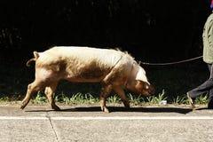 Cerdo nacional grande que es caminado a lo largo del camino a la granja imagen de archivo