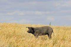 Cerdo negro Fotos de archivo