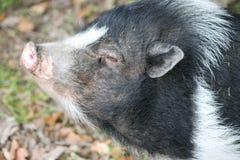 Cerdo negro blanco Color de rosa oídos Amor vida Mini cerdo hocico Hierba Hojas Imagenes de archivo