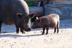 Cerdo negro con su pequeño cerdo de una yarda de la aldea Imágenes de archivo libres de regalías