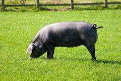 Cerdo negro de Cornualles de la casta rara con la cola rizada Fotografía de archivo