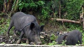 Cerdo negro domesticado atado en un árbol almacen de video