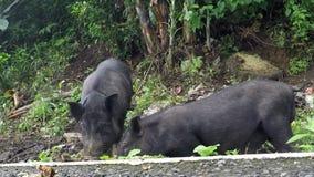 Cerdo negro domesticado atado en un árbol metrajes