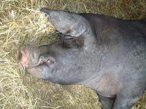 Cerdo negro el dormir Imágenes de archivo libres de regalías