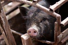 Cerdo negro en la jaula Foto de archivo