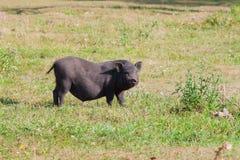 Cerdo negro en yarda de la aldea Foto de archivo libre de regalías