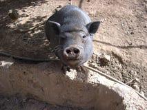 Cerdo negro que le mira Imágenes de archivo libres de regalías