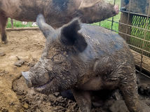 Cerdo negro que sonríe en el fango Imagen de archivo