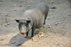 Cerdo negro vietnamita Foto de archivo libre de regalías