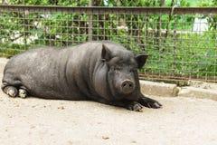 Cerdo o mini-cerdo enano adulto casero, negro en color fotos de archivo