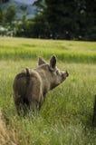 Cerdo orgánico foto de archivo libre de regalías