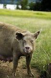 Cerdo orgánico fotos de archivo libres de regalías