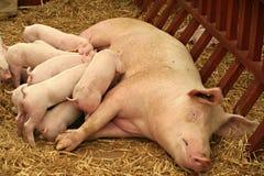 Cerdo que aspira Fotos de archivo libres de regalías