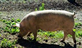 Cerdo que camina en la tierra fangosa Imágenes de archivo libres de regalías