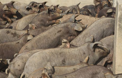 Cerdo que cultiva 5 Imagen de archivo