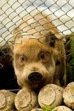 Cerdo que intenta escaparse Imágenes de archivo libres de regalías
