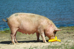 Cerdo que introduce Foto de archivo