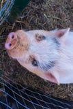 Cerdo que mira para arriba imágenes de archivo libres de regalías