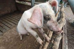 Cerdo que se coloca en establo Fotos de archivo libres de regalías