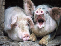 Cerdo rosado divertido en la parada Foto de archivo libre de regalías
