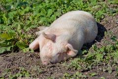 Cerdo rosado grande Fotografía de archivo libre de regalías